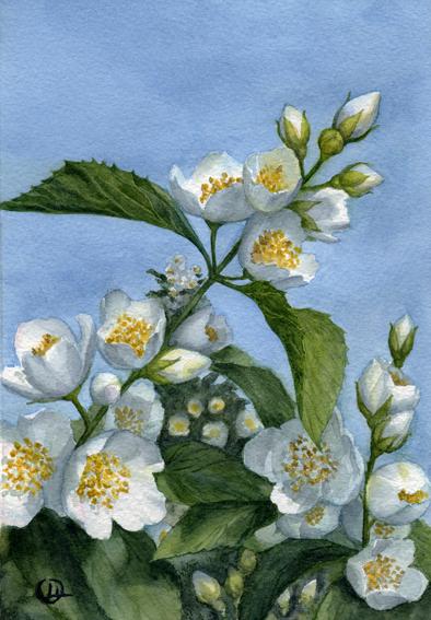 Watercolor Акварель Жасмин