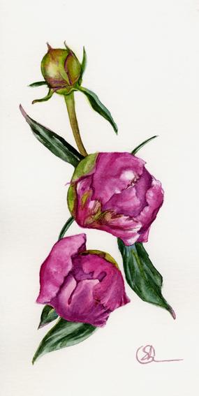 Watercolor Акварель Бутоны пиона