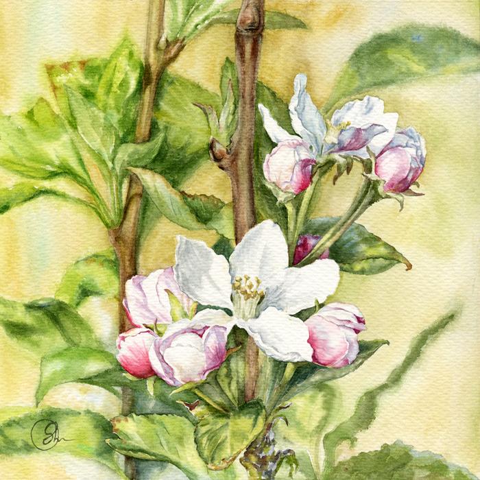 Watercolor Цветы яблони Акварель