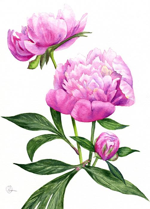 Watercolor Акварель Пионы